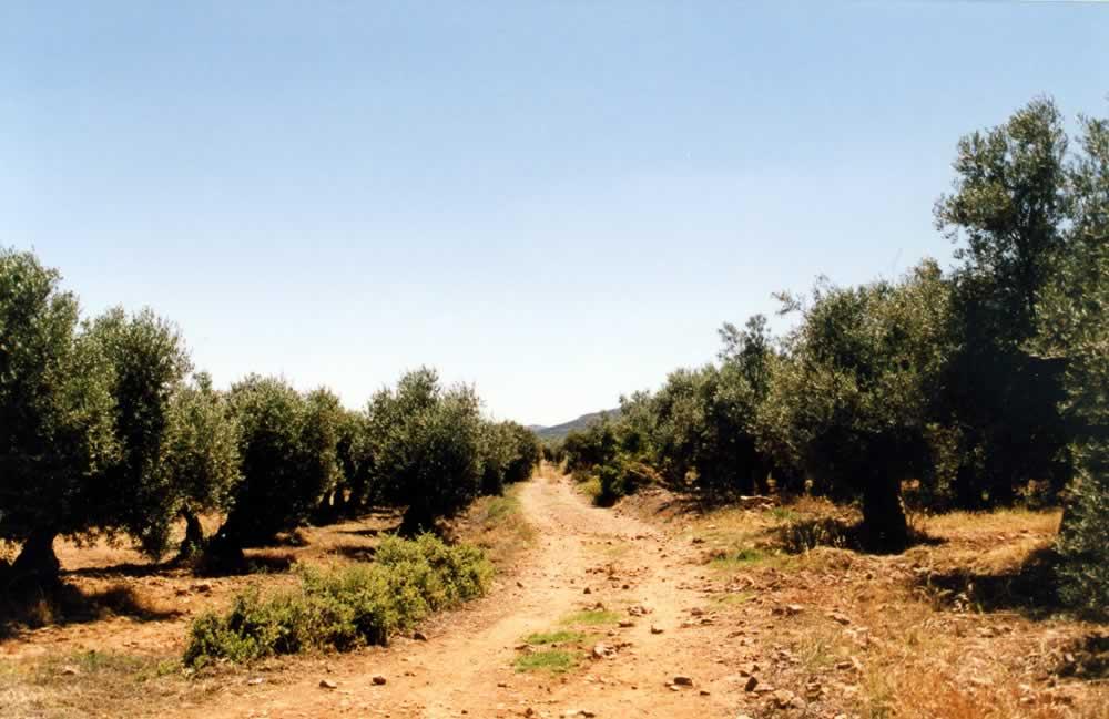Paso de la Vereda del Cristo entre olivares